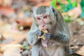 Close up of monkey crab eating macaque eating fruit in thailand Royalty Free Stock Photography