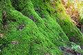 Close up of moss on tree in deep forest nature life background select focus Royalty Free Stock Image