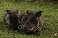 Close up of mother and baby wart hogs in zimbabwe faces Royalty Free Stock Image