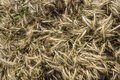 Close up of mown triticale on a cart which has been organically grown prior to threshing