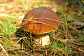 Close-up mushroom (Boletus edulis) Stock Photos