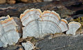 A close up of the mushrooms bracket fungus on dead tree Stock Image