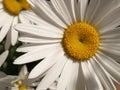 Close up natural daisy