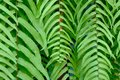 Close up of natural green fern leaves.