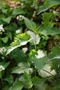 Close-up of Nettle Royalty Free Stock Photo