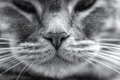 A close up nose of a gray tabby cat and whiskers Stock Images