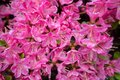 Close up oink flowers for background and wallpaper Royalty Free Stock Photo