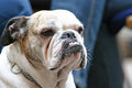 Close up of old bulldog with canines a an visible Royalty Free Stock Photo