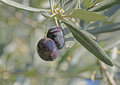 Close up of olive berry Royalty Free Stock Photo
