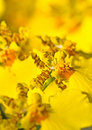 Close-up of Oncidium orchid flower Royalty Free Stock Photos