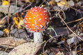 Close-up of one red mushroom among green grass in the autumn forest. Amanita muscaria, known as fly agaric or  , is a beautiful bu Royalty Free Stock Photo