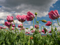 Close up of opium poppies pink in full blossom Stock Photography