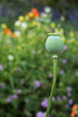 Close up opium poppy outdoor Stock Photography