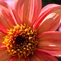 Close up orange dahlia flower in morning sunshine Stock Images