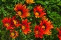 Close up of orange daises Royalty Free Stock Photo