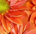 Close-up of an orange flower reflected in water Royalty Free Stock Photography