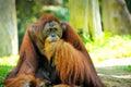 Close up of orangutan selective focus Stock Image