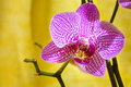 Close up of a orchid flower on yellow background Royalty Free Stock Photo