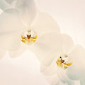 Close up of orchids on light background white spring orchid flower Royalty Free Stock Photography