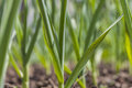 Close up of organic garlic sapling young in small home farm Stock Image