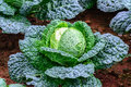 Close up of organic savoy cabbage in field Royalty Free Stock Photo