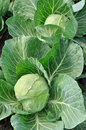 Close-up of organically cultivated ripening cabbage