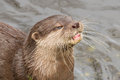 Close up of an otter eating fish holland Royalty Free Stock Image