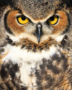 Close up of owl outdoor portrait a wild with it s eyes open Stock Photo