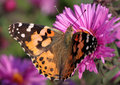 Close up painted lady butterfly chrysanthemum Stock Photos