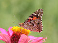 Close up painted lady butterfly flower zinnia Royalty Free Stock Image