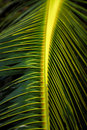 Close up of Palm tree leaves Royalty Free Stock Photos