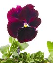 Close up of pansy flower isolated on white background Royalty Free Stock Photo