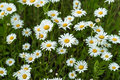 Close-up part of beautiful wild daisys flowers in the wind. Summer day after rain. Concept of seasons, ecology, green Royalty Free Stock Photo