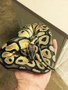 Close up of pastel ghost ball python snake being held Royalty Free Stock Photo