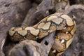 close up Pattern Boa Snake skin abstract textured Royalty Free Stock Photo