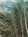 Close up peacock tail feather feathers have a variety of decorative uses placed in a vase for home decor they stand on their own Stock Images