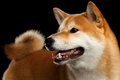 Close-up Pedigreed Shiba inu Dog Smiling on  Black Background Royalty Free Stock Photo