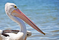 A close up of pelican on beach in Australia Stock Image