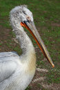 Close up of pelican Royalty Free Stock Photo