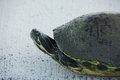 Close-up of Peninsula Cooter Turtle on Sidewalk Royalty Free Stock Photo