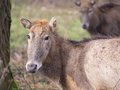 Close up of a pere david s deer also known as father in winter Royalty Free Stock Images