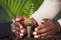 Close-up Of Person`s Hand Protecting Sapling Royalty Free Stock Photo