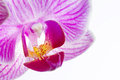 Close up phalaenopsis moth orchid flowers white background Stock Photos