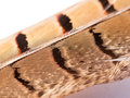Close up of pheasant feather with pattern pretty and texture Royalty Free Stock Photo
