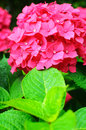 Close-up photo of beautiful pink hydrangea flowers Royalty Free Stock Photo