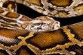 Close-up photo of burmese python Royalty Free Stock Photo
