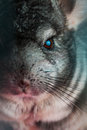 Close up photo of chinchilla vertical Royalty Free Stock Images