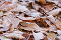 Close up photo of frosty chestnut leaves chilling morning Royalty Free Stock Images