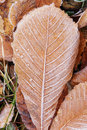 Close up photo of frosty chestnut leaves chilling morning Stock Photo
