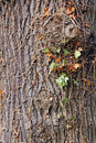 Close up photo ivy plant climbing over rugged texture old tree bark Royalty Free Stock Image